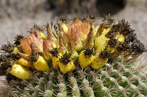 Barrel cactus flowers and fruit