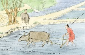 Plowing rice paddies with water buffalo