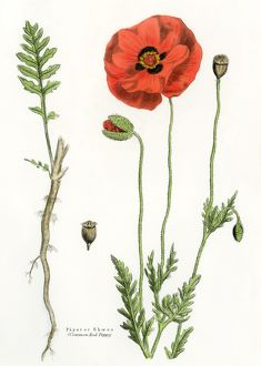 Poppy flower, root, and seed pod
