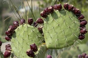 Prickly-pear cactus with fruit